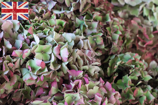 British Hydrangea, Autumn Foliage at New Covent Garden Flower Market - October 2015