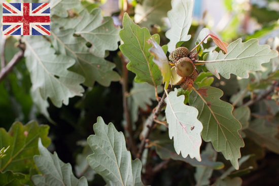 British Oak, Autumn Foliage at New Covent Garden Flower Market - October 2015