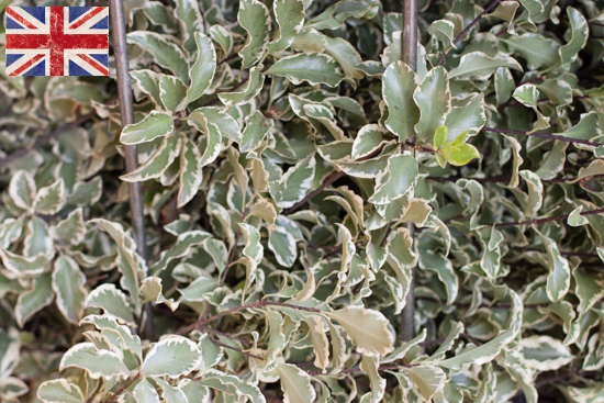 British Pittosporum, Autumn Foliage at New Covent Garden Flower Market - October 2015