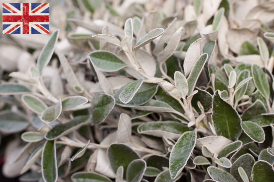 British Senecio, Autumn Foliage at New Covent Garden Flower Market - October 2015