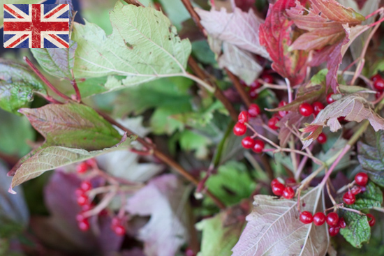 British Guelder berry, Autumn Foliage at New Covent Garden Flower Market - October 2015