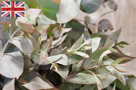 British eucalyptus, Autumn Foliage at New Covent Garden Flower Market - October 2015