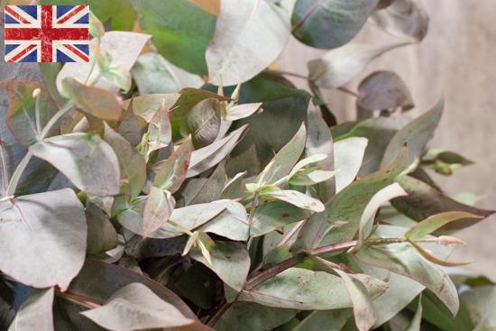 British eucalyptus, Autumn Foliage at New Covent Garden Flower Market - October 2015
