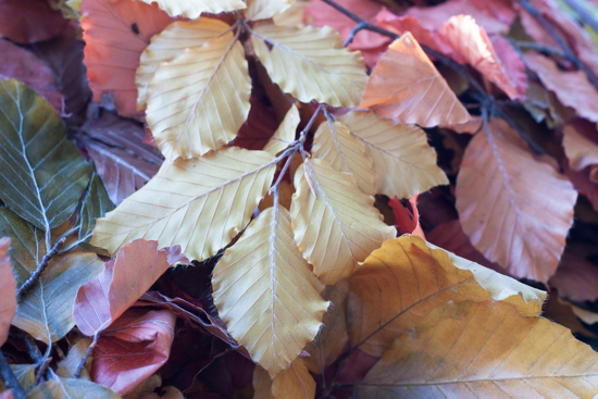 Preserved beech, Autumn Foliage at New Covent Garden Flower Market - October 2015