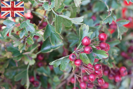 British Hawthorn , Autumn Foliage at New Covent Garden Flower Market - October 2015