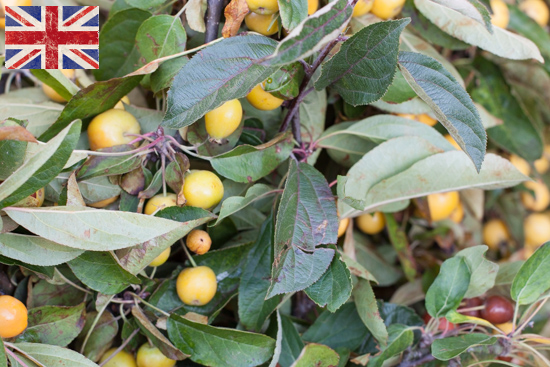 British crab apples (Malus) , Autumn Foliage at New Covent Garden Flower Market - October 2015