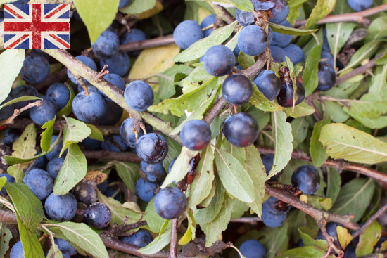 British Sloe berries, Autumn Foliage at New Covent Garden Flower Market - October 2015