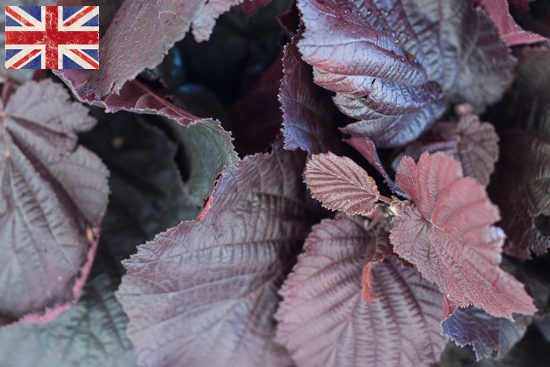 British Red Hazel, Autumn Foliage at New Covent Garden Flower Market - October 2015
