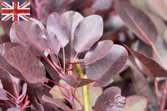 British Cotinus Coggygria, Autumn Foliage at New Covent Garden Flower Market - October 2015