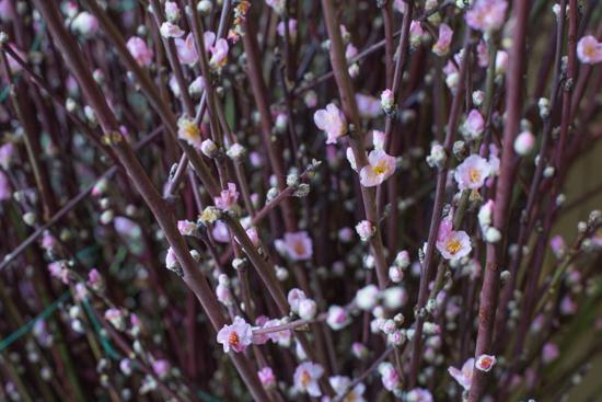 Peach Blossom CHerry Blossom at New Covent Garden Flower Market January 2017