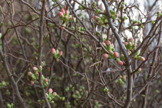 Peach Flowering Quince Chaenomeles superba at New Covent Garden Flower Market January 2017