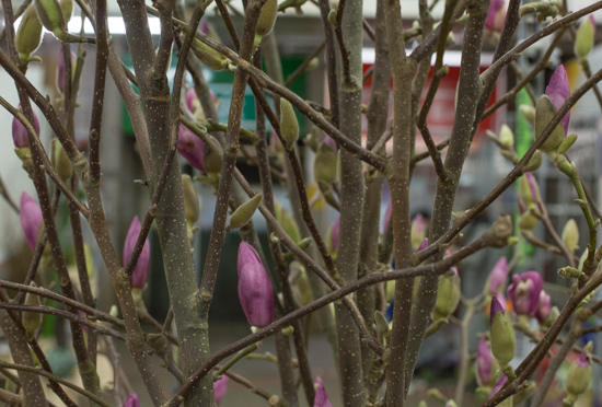Magnolia Branches at New Covent Garden Flower Market January 2017