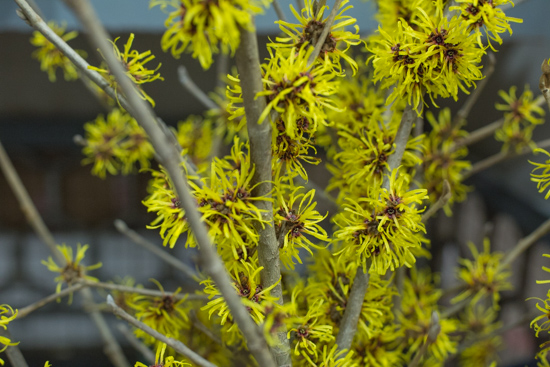 Yellow witch hazel Hamamelis mollis at New Covent Garden Flower Market January 2017