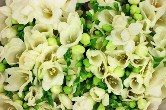 White double variety volante freesia at New Covent Garden Flower Market - August 2014