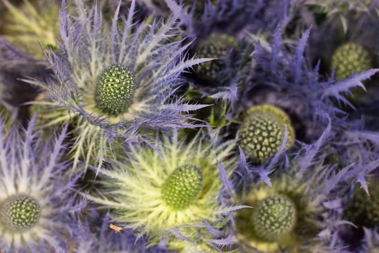 Eryngium 'Donard' at New Covent Garden Flower Market - August 2015