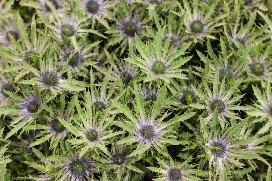 Eryngium 'Vega Questar' at New Covent Garden Flower Market - August 2015