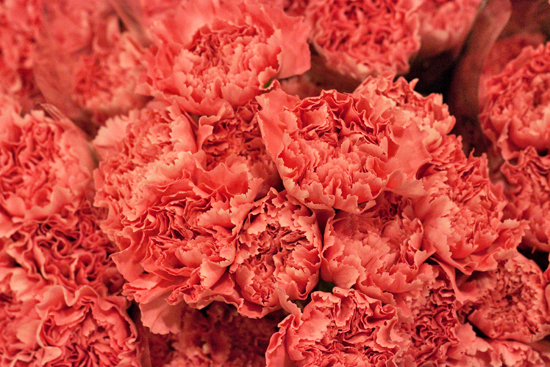 Pale pink Colombian carnations at New Covent Garden Flower Market