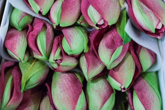 Pink lagoon amaryllis at New Covent Garden Flower Market - December 2014