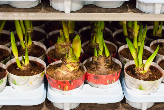 Potted amaryllis at New Covent Garden Flower Market - December 2014