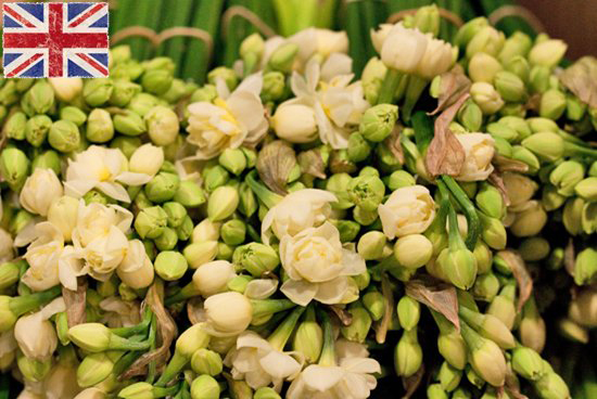 British White double headed erlicheer Narcissi at New Covent Garden Flower Market - January 2015