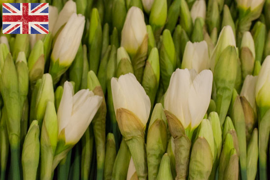 British White Ice Follies daffodil at New Covent Garden Flower Market - January 2015