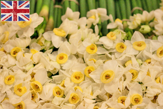 British White avalanche Narcissi at New Covent Garden Flower Market - January 2015
