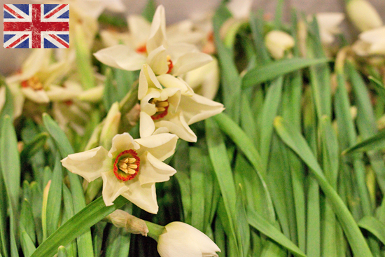 British Actea (Pheasant's Eye)  white Narcissi at New Covent Garden Flower Market - January 2015