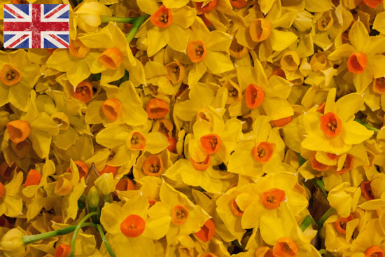 British Soleil d'Or yellow Narcissi at New Covent Garden Flower Market - January 2015