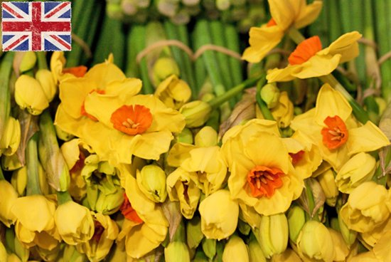 British Royal Connection Yellow Narcissi at New Covent Garden Flower Market - January 2015
