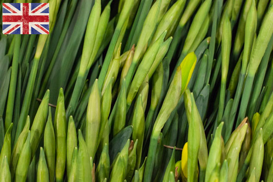 British Daffodils in bud at New Covent Garden Flower Market - January 2015