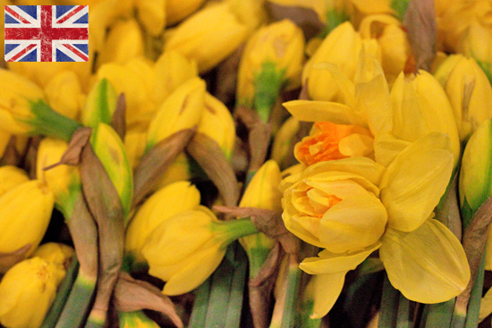 British Yellowand orange double daffodil (Apotheose) at New Covent Garden Flower Market - January 2015