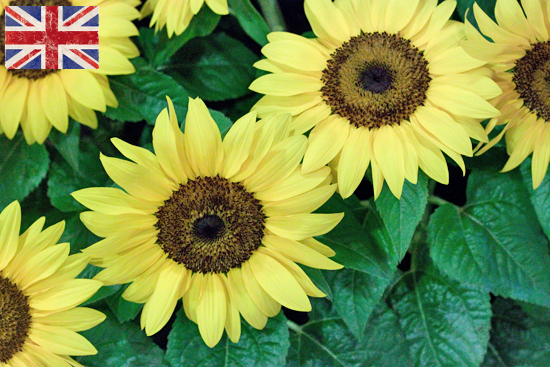 British Sunflower at New Covent Garden Flower Market
