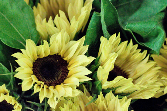 Premier Lemon Sunflower at New Covent Garden Flower Market
