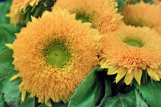 Teddy Bear Sunflower at New Covent Garden Flower Market