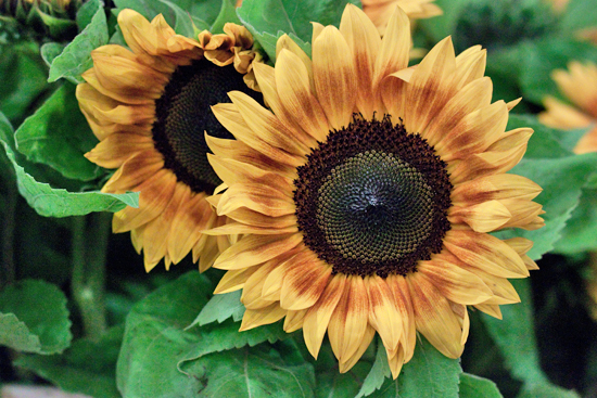 Jua Inca Sunflower at New Covent Garden Flower Market