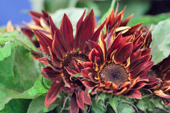Prado Red Sunflower at New Covent Garden Flower Market