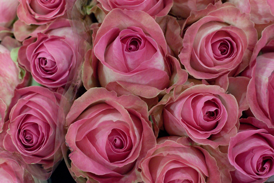 Candy Avalanche roses at New Covent Garden Flower Market - August 2015