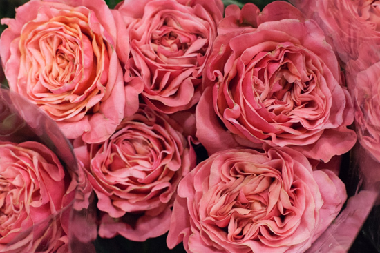 Baronesse roses at New Covent Garden Flower Market - August 2015