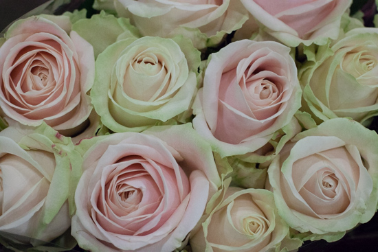 Sweet Avalanche roses at New Covent Garden Flower Market - August 2015
