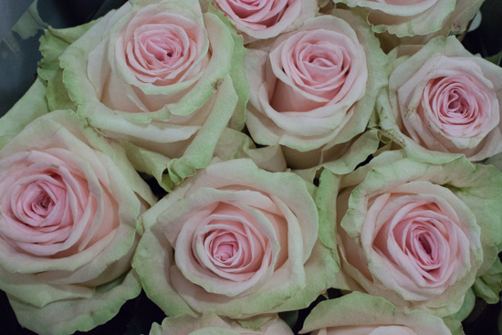 Sweet Dolomiti roses at New Covent Garden Flower Market - August 2015