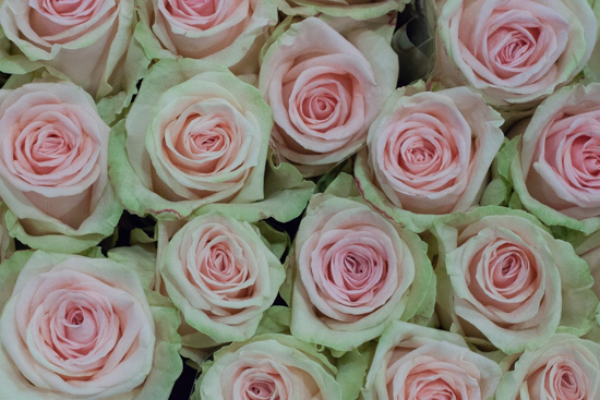 Lovely Dolomiti roses at New Covent Garden Flower Market - August 2015