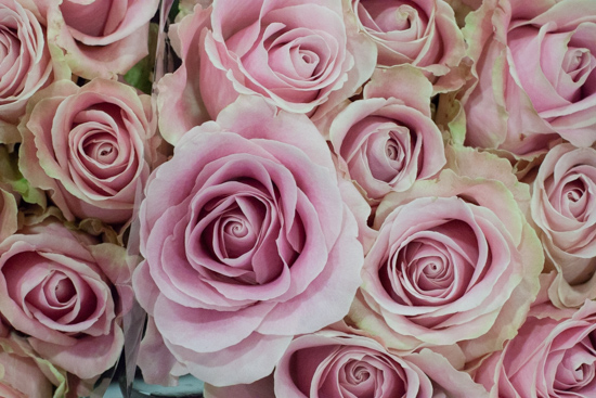 Pink Charm roses at New Covent Garden Flower Market - August 2015
