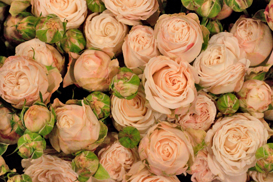 Bombastic pale pink spray roses at New Covent Garden Flower Market