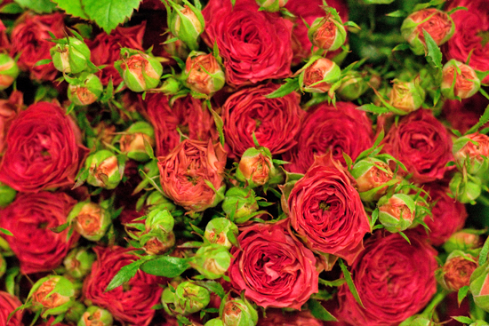 Red Magic Pepita spray roses at New Covent Garden Flower Market