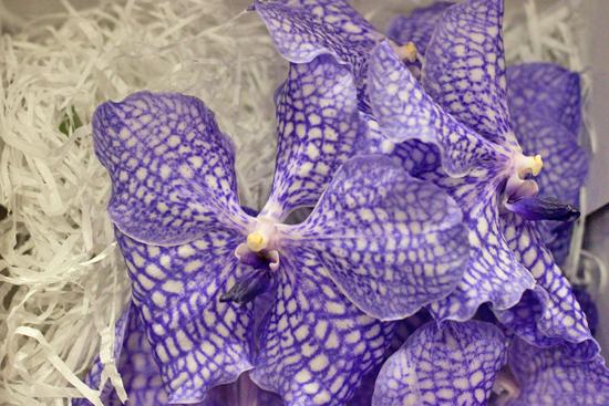 Delft Blue Vanda Orchids at New Covent Garden Flower Market