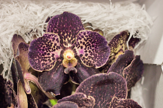 Choco Brown Vanda Orchids at New Covent Garden Flower Market