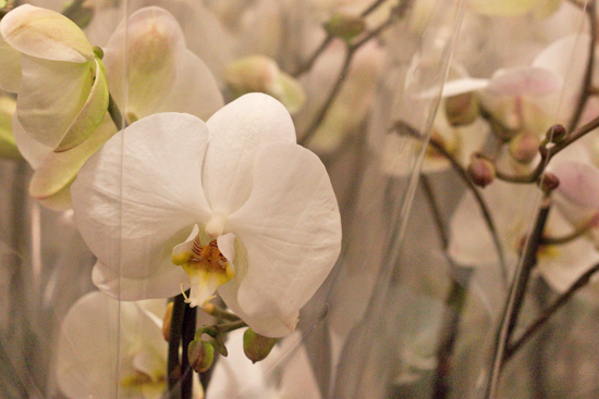 White Phalaenopsis Orchids plants at New Covent Garden Flower Market