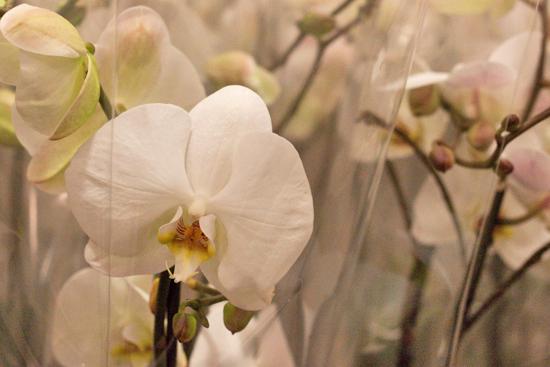 White Phalaenopsis Orchids plants at New Covent Garden Flower Market