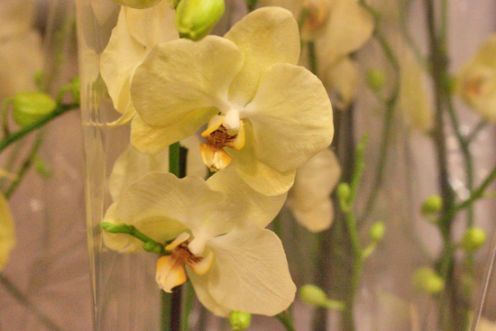Yellow Phalaenopsis Orchids plants at New Covent Garden Flower Market