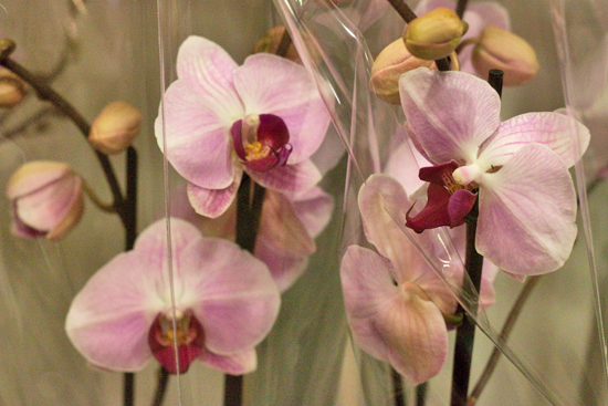 White and pink Phalaenopsis Orchids plants at New Covent Garden Flower Market